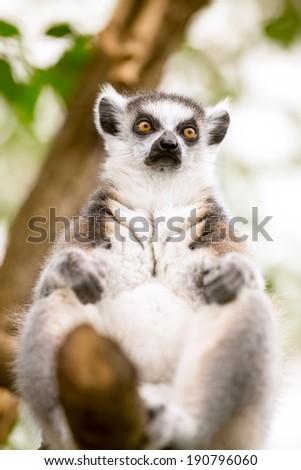 ring-tailed lemur on tree - stock photo
