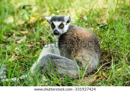 Ring-tailed lemur portrait close up - stock photo