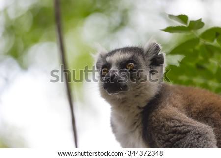 Ring tailed lemur portrait close up in Madagascar safari - stock photo