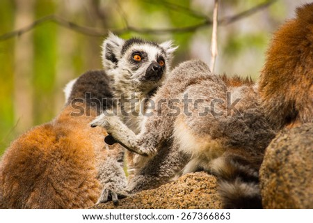 Ring-tailed lemur portrait on a stone  in Madagascar, Africa