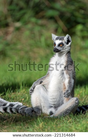 Ring-Tailed Lemur sunbathing in forest clearing/Ring-Tailed Lemur/Ring-Tailed Lemur (lemur catta) - stock photo
