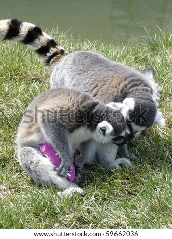 Ring-Tailed Lemur trying to keep food away from another Lemur. - stock photo
