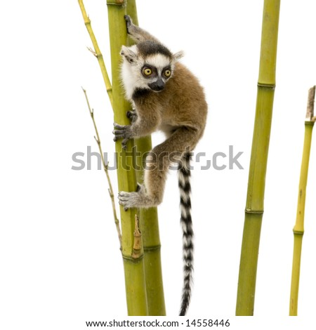 Ring-tailed Lemur (6 weeks) - Lemur catta in front of a white background