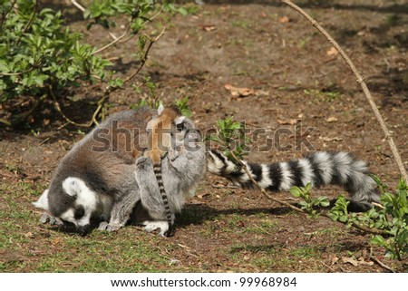 Ring-tailed lemur with baby on its back - stock photo