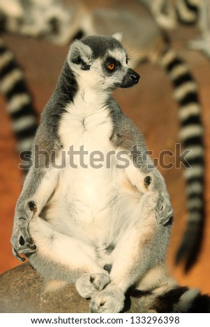 Ring-Tailed lemur Within a Group