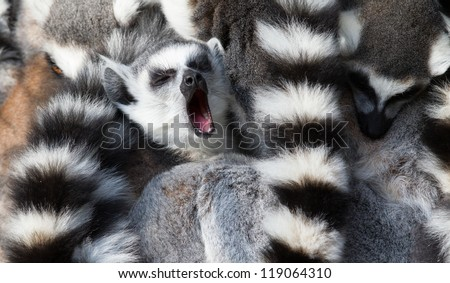Ring-tailed lemurs (Lemur catta) huddle together with one yawning - stock photo