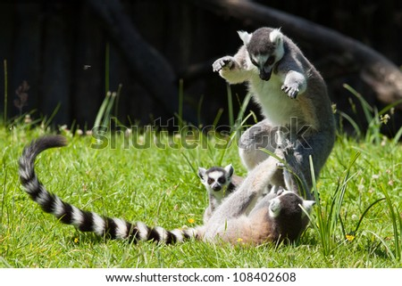 Ring-tailed lemurs playing in a dutch zoo - stock photo