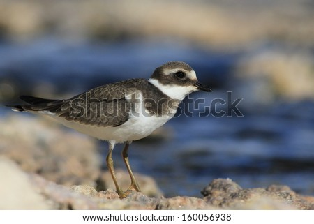 Ringed Plover - stock photo