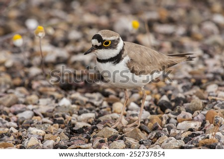 Ringed Plover ( Charadrius dubius ) walking among the stones - stock photo