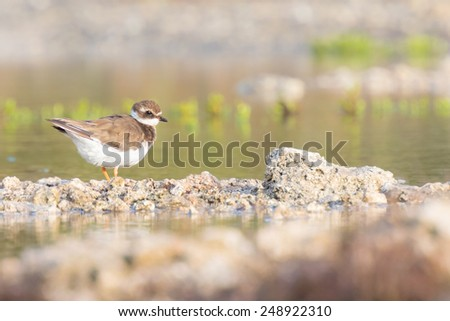 Ringed Plover (Charadrius hiaticula) foraging in between rocks on wetlands - stock photo