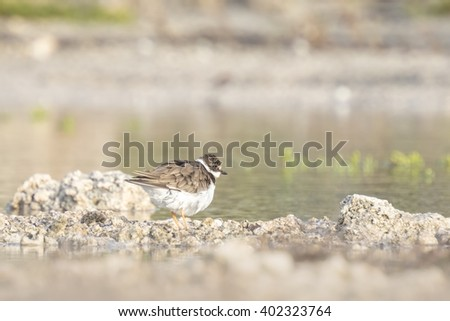 Ringed Plover (Charadrius hiaticula) polishing in a puddle of water in his own habitat - stock photo
