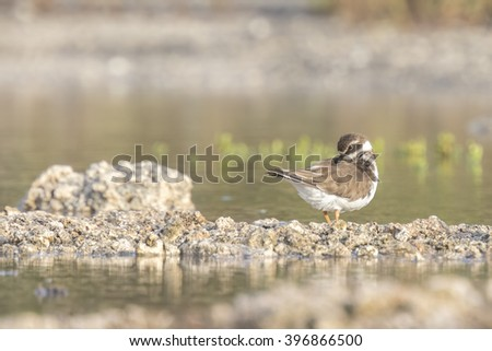 Ringed Plover (Charadrius hiaticula) preening in a puddle of water in his own habitat - stock photo
