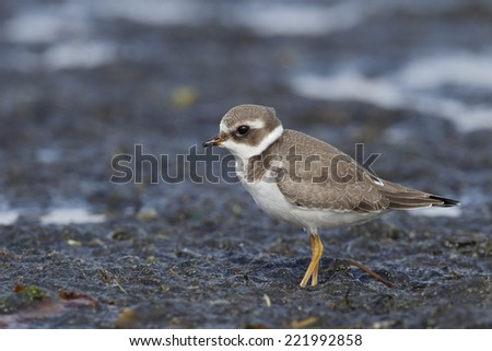 Ringed plover, Charadrius hiaticula, young bird on muddy estuary, North Wales, September 2014