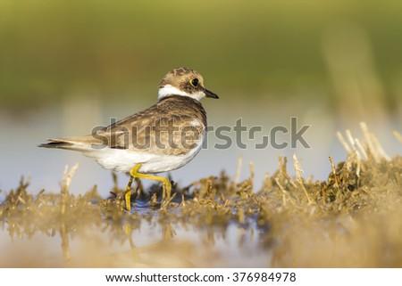 Ringed Plover Little Ringed Plover / Charadrius dubius - stock photo