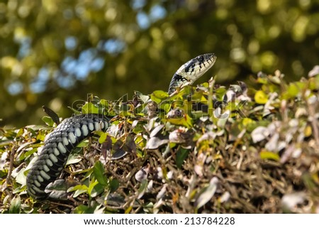 Ringed snake in a garden - stock photo