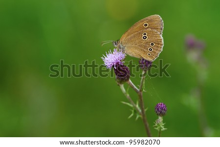 Ringlet (Aphantopus hyperantus) in summertime against a green background.