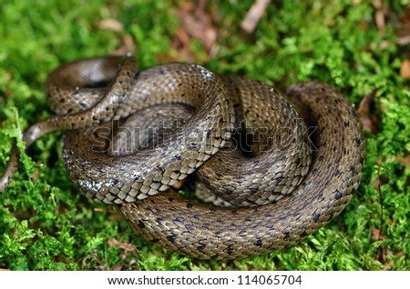 ringsnake - stock photo