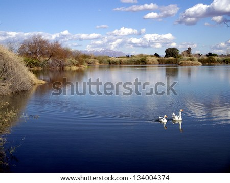 Riparian Lake with White Geese - stock photo