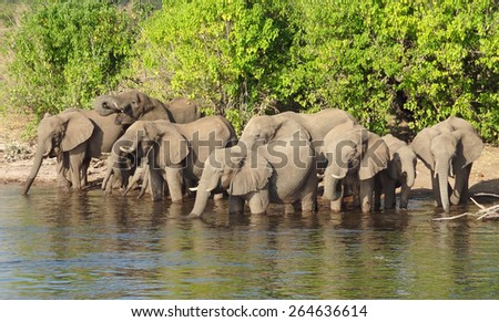 riparian scenery showing a herd of elephants in Botswana, Africa - stock photo