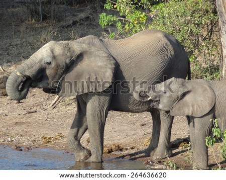riparian scenery with elephants seen in Botswana, Africa