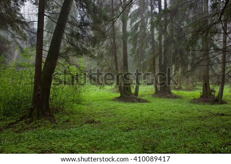 Riparian stand in springtime with fresh green bottom and anemone flowering in foreground,Bialowieza forest,Poland,Europe