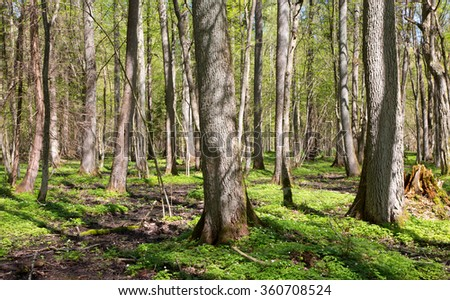 Riparian stand of Bialowieza Forest with flowering anemone in sun,Bialowieza Forest,Poland,Europe - stock photo