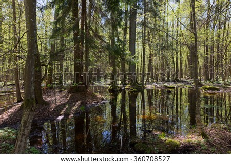 Riparian stand of Bialowieza Forest with water in sun,Bialowieza Forest,Poland,Europe