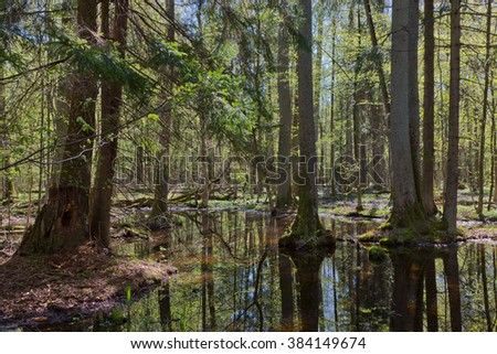 Riparian stand of Bialowieza Forest with water in sun,Bialowieza Forest,Poland,Europe - stock photo