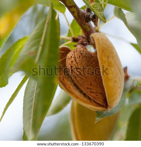 Ripe almonds on the tree branch - stock photo