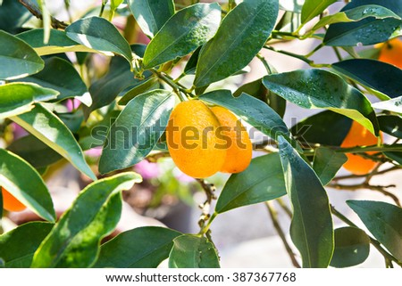 Ripe and fresh oranges hanging on branch - stock photo