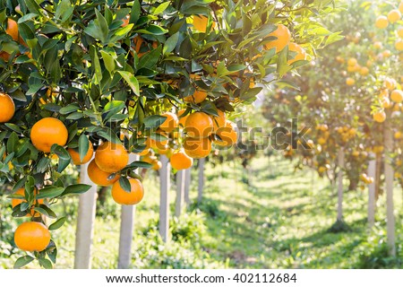 Ripe and fresh oranges hanging on branch, orange orchard - stock photo