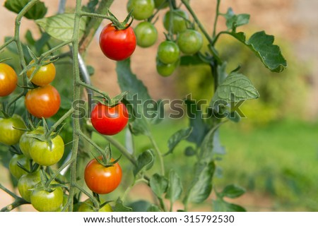 Ripe and green tomatoes in the vegetable garden - stock photo