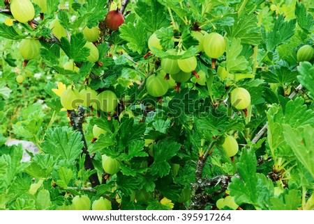 Ripe and juicy green gooseberries hanging on a Bush in clusters on a background of the green leaves. - stock photo