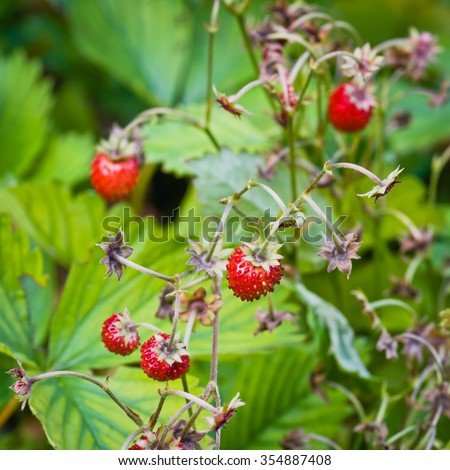 Ripe and tasty wild strawberry - stock photo
