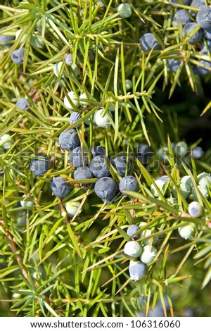 Ripe and unripe juniper berries on a branch with needle-leaves - stock photo
