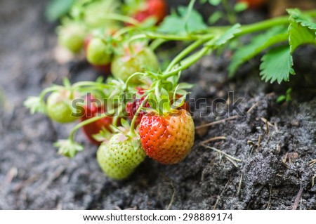 Ripe and unripe strawberries growing on the ground, narrow depth - stock photo