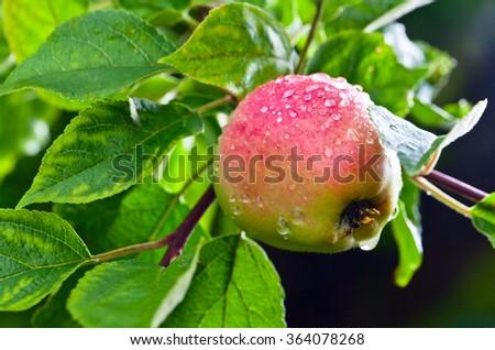 ripe apple on a tree after rain. - stock photo