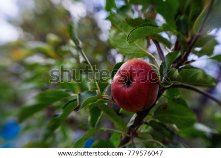 Ripe apple on the tree