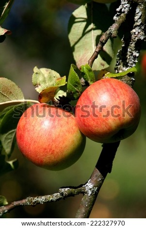 Ripe apples - stock photo