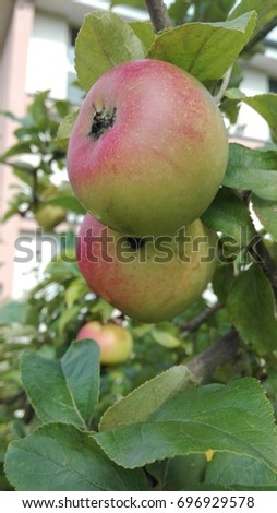 Ripe apples before the harvest
