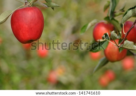 Ripe apples growing in an orchard at Nelson, New Zealand - stock photo