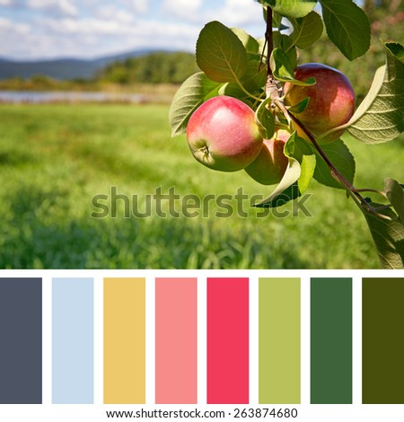 Ripe apples hanging from a tree in an orchard, in a colour palette, with complimentary colour swatches - stock photo