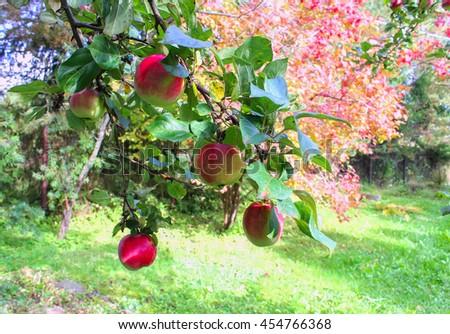 ripe apples in autumn garden - stock photo