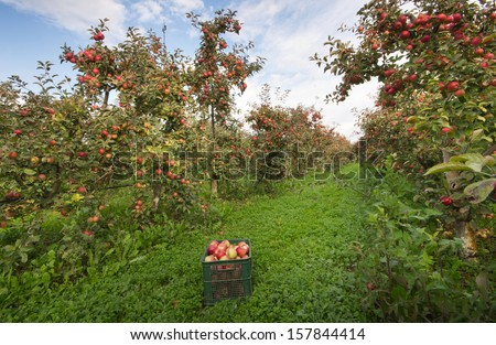 Ripe apples in crates and on trees in orchard - stock photo