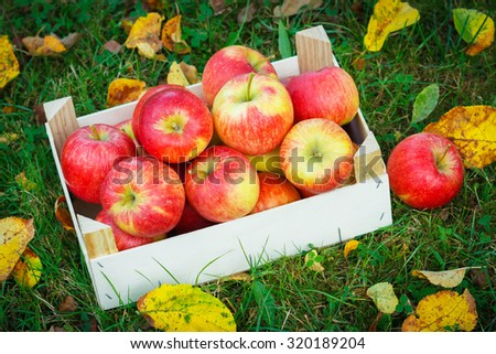 Ripe apples in wooden box in garden. Autumn scenery