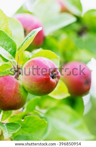 Ripe apples on a branch in a summer garden on a sunny day. Fruit  background. Gardening and farming. Bio healthy and diet food. Selective focus - stock photo