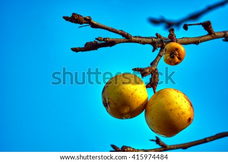 Ripe apples on a tree branch in autumn in Poland - stock photo
