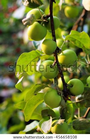 Ripe apples on apple tree branch. - stock photo