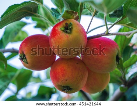 Ripe apples on apple tree branch, blue sky background. - stock photo