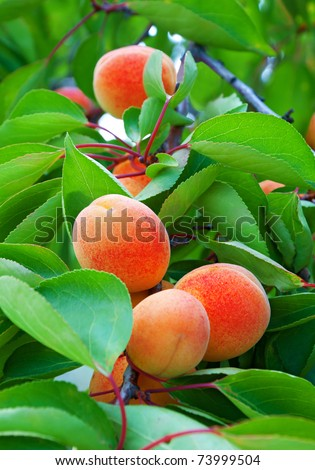 Ripe apricots grow on a branch among green leaves - stock photo